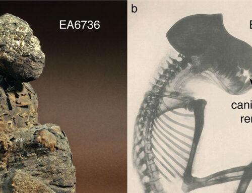 Mummie di babbuino rivelano la posizione di Punt